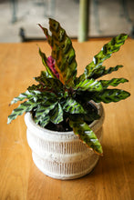 Load image into Gallery viewer, Calathea Lancifolia (Rattlesnake)