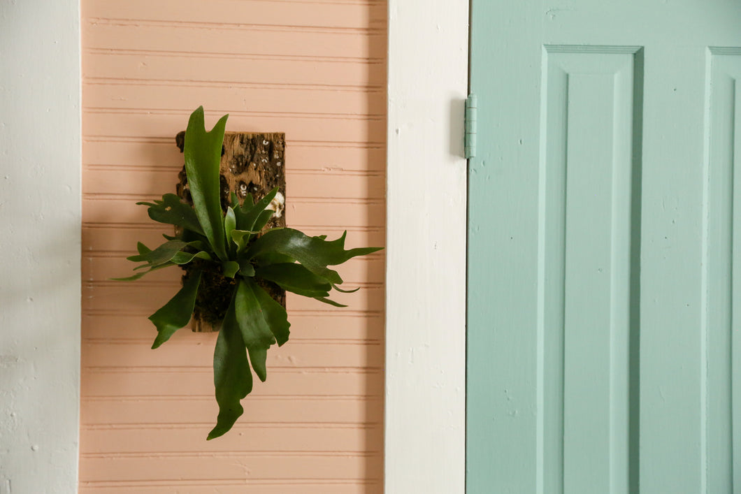 Staghorn Fern Mounting - Workshop Kits