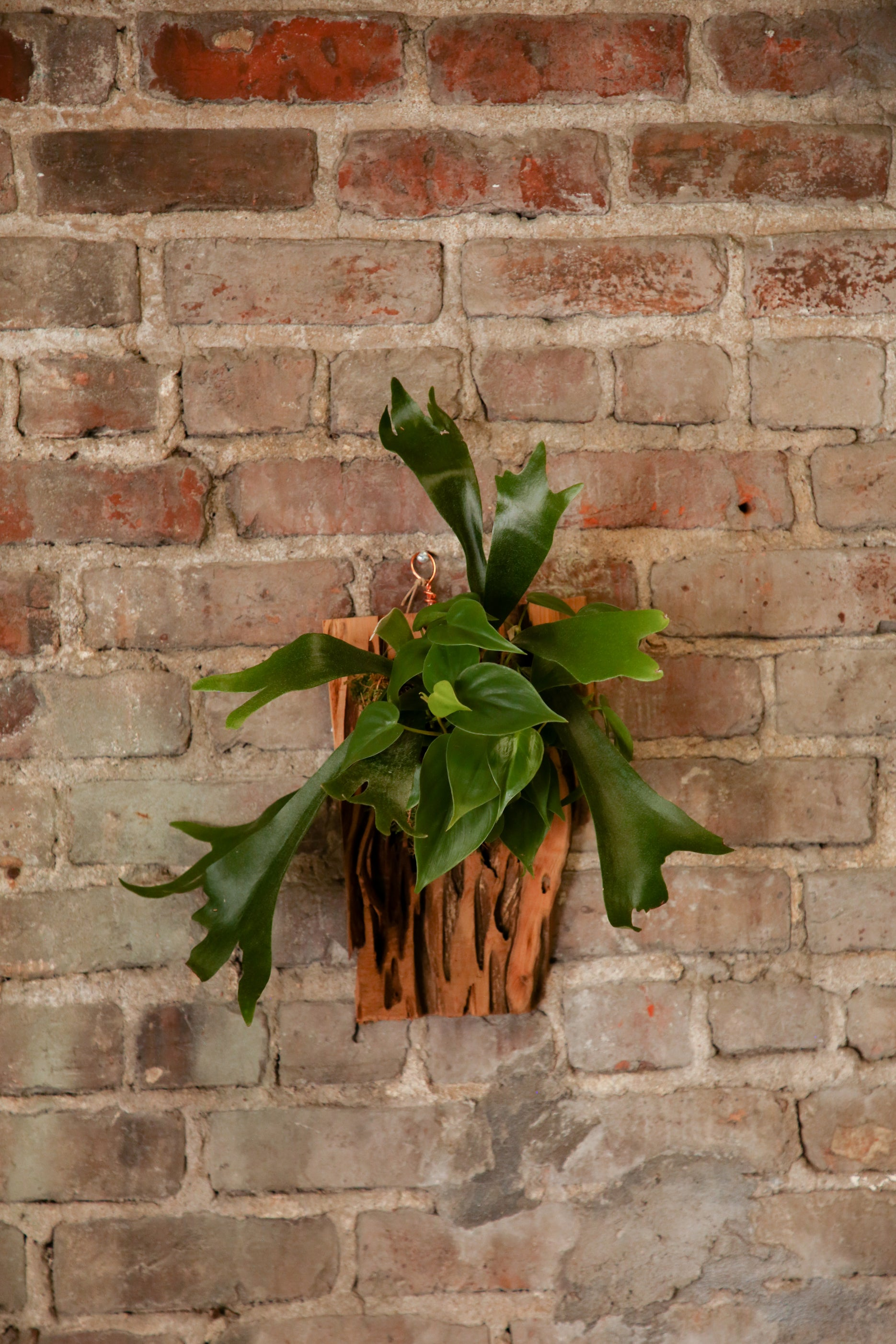 FAIT Staghorn Mounted Design