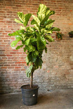 Load image into Gallery viewer, Fiddle Leaf Fig (Ficus Lyrata)