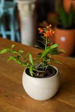 Load image into Gallery viewer, Epidendrum Orchid - Red + Orange