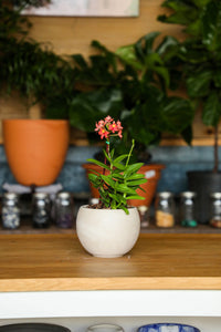Epidendrum Orchid - Red + Orange