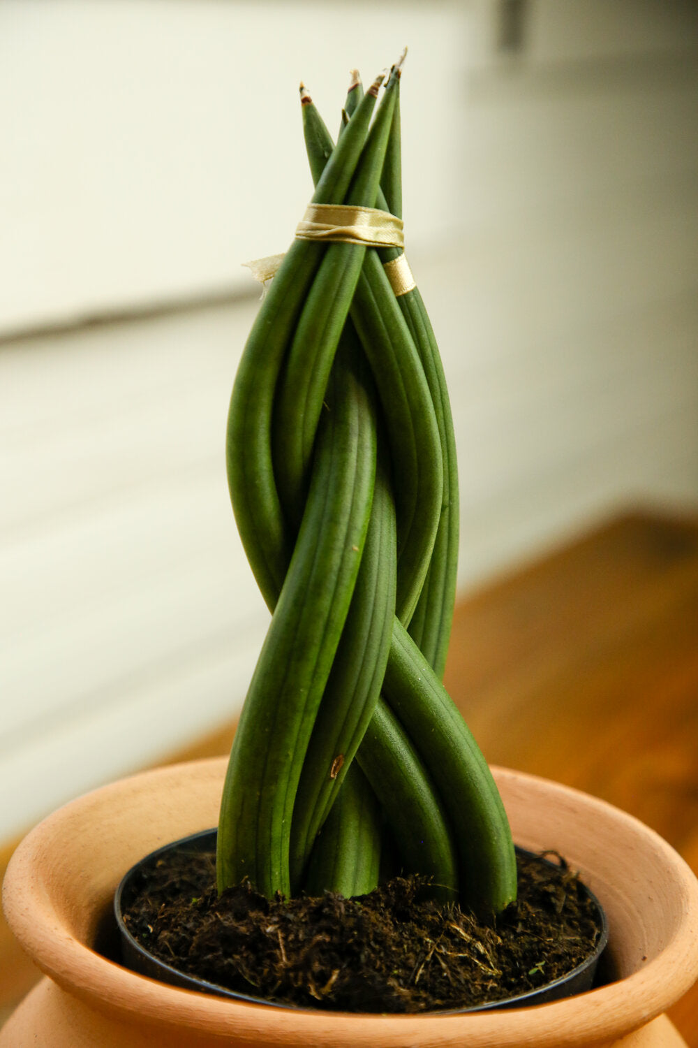 Sansevieria Cylindrica Braided Dragon Finger