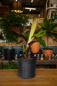 Red Banana Ensete Maurelii