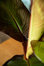 Load image into Gallery viewer, Red Banana Ensete Maurelii