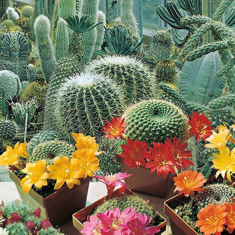 Mr Fothergill's - CACTUS Flowers of The Desert Seeds Flower Seeds | Snape & Sons