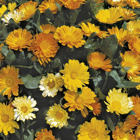 Mr Fothergill's - CALENDULA Daisy Mixed Seeds Flower Seeds | Snape & Sons