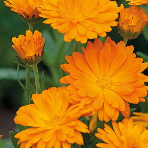 Mr Fothergill's - CALENDULA Funky Stuff Seeds Flower Seeds | Snape & Sons