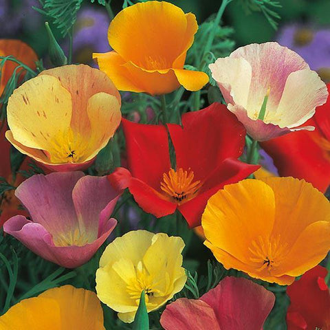 Mr Fothergill's - CALIFORNIAN POPPY Single Mixed Seeds Flower Seeds | Snape & Sons