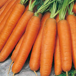 Mr Fothergill's - CARROT Nantes 5 Seeds Vegetable Seeds | Snape & Sons