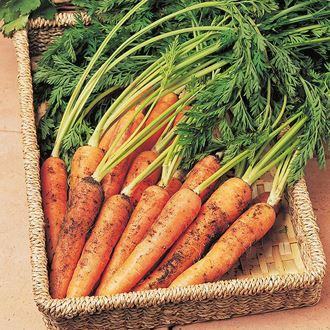 Mr Fothergills - CARROT Resistafly F1 Vegetable Seeds | Snape & Sons