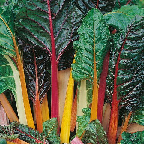 Mr Fothergill's - CHARD Bright Lights Seeds Vegetable Seeds | Snape & Sons