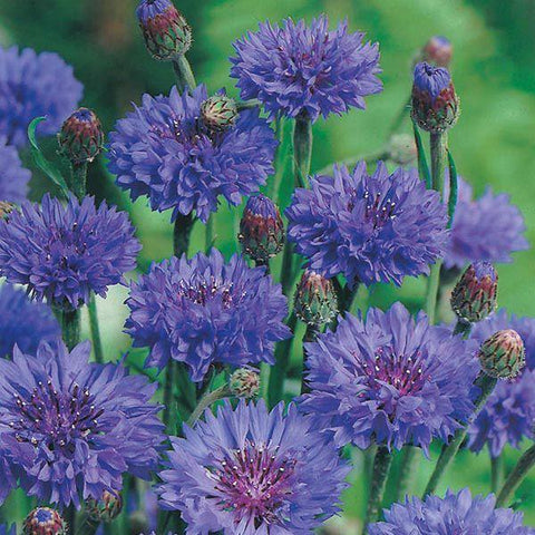 Mr Fothergill's - CORNFLOWER Blue Ball Seeds Flower Seeds | Snape & Sons