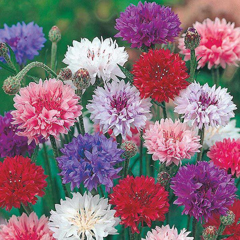 Mr Fothergill's - CORNFLOWER Polka Dot Seeds Flower Seeds | Snape & Sons