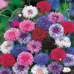 Mr Fothergill's - CORNFLOWER Tall Mixed Seeds Flower Seeds | Snape & Sons