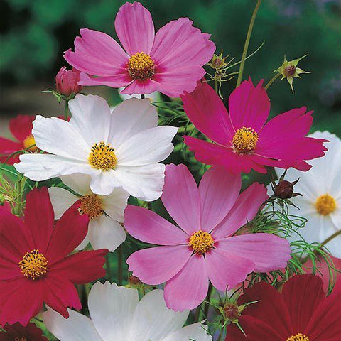 Mr Fothergill's - COSMOS Sensation Mixed Seeds Flower Seeds | Snape & Sons