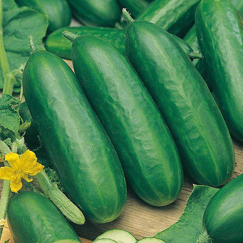 Mr Fothergill's - CUCUMBER Socrates F1 Seeds Vegetable Seeds | Snape & Sons