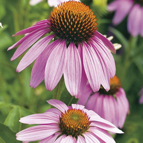 Mr Fothergill's - ECHINACEA Large Flowered Seeds Flower Seeds | Snape & Sons