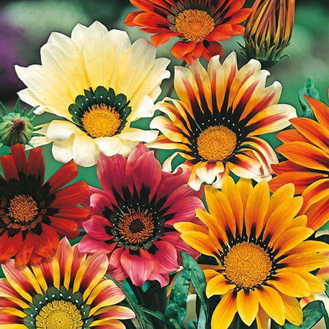 Mr Fothergill's - GAZANIA Sunshine Mixed Seeds Flower Seeds | Snape & Sons