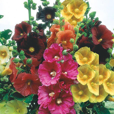 Mr Fothergill's - HOLLYHOCK Giant Single Mixed Seeds Flower Seeds | Snape & Sons
