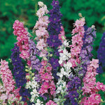 Mr Fothergill's - LARKSPUR Giant Imperial Mixed Seeds Flower Seeds | Snape & Sons