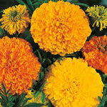 Mr Fothergill's - MARIGOLD (African) Crackerjack Mixed Seeds Flower Seeds | Snape & Sons