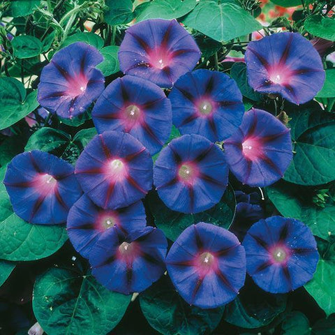 Mr Fothergill's - MORNING GLORY Grandpa Otts Seeds Scented Candles | Snape & Sons