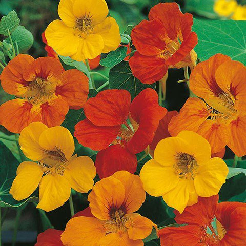 Mr Fothergill's - NASTURTIUM Tom Thumb Seeds Flower Seeds | Snape & Sons