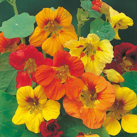 Mr Fothergill's - NASTURTIUM Trailing Mixed Seeds Flower Seeds | Snape & Sons
