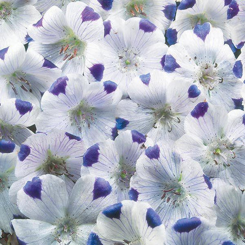 Mr Fothergill's - NEMOPHILA Five Spot Seeds Flower Seeds | Snape & Sons