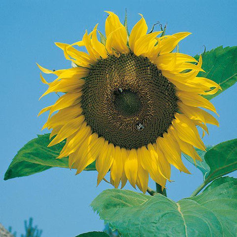 Mr Fothergill's - SUNFLOWER Giant Single Seeds Flower Seeds | Snape & Sons