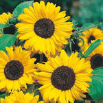 Mr Fothergill's - SUNFLOWER Hallo Seeds Flower Seeds | Snape & Sons