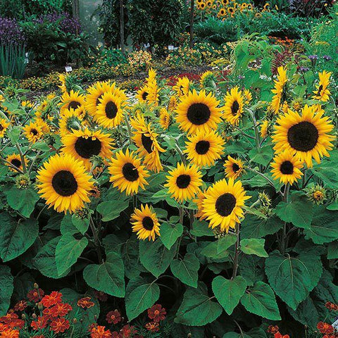 Mr Fothergill's - SUNFLOWER Little Dorrit F1 Seeds Flower Seeds | Snape & Sons