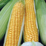 Mr Fothergill's - SWEET CORN Swift F1 Seeds Vegetable Seeds | Snape & Sons