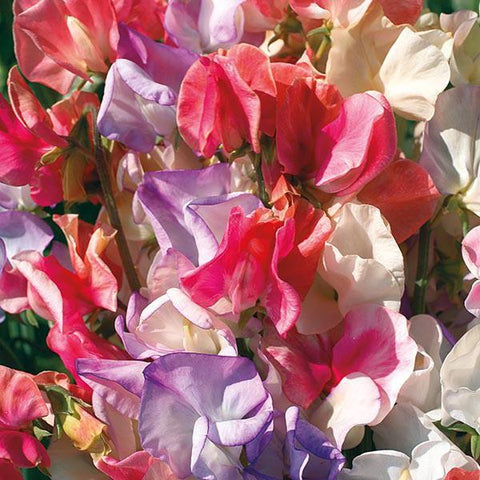 Mr Fothergill's - SWEET PEA Incense Mixed Seeds Flower Seeds | Snape & Sons