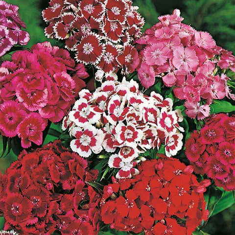 Mr Fothergill's - SWEET WILLIAM Monarch Mixed Seeds Flower Seeds | Snape & Sons