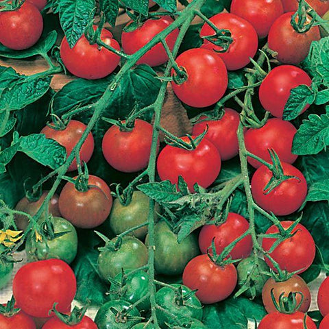 Mr Fothergill's - TOMATO Gardeners Delight Seeds Vegetable Seeds | Snape & Sons