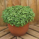 Mr Fothergill's - WATERCRESS Aqua Seeds Vegetable Seeds | Snape & Sons