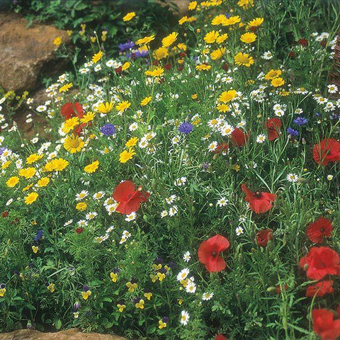 Mr Fothergill's - WF Cornfield Mixture Seeds Flower Seeds | Snape & Sons