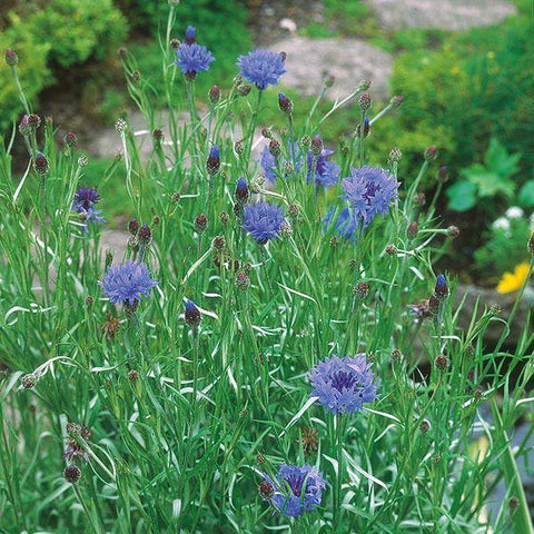 Mr Fothergill's - WF Cornflower Seeds Flower Seeds | Snape & Sons
