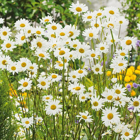 Mr Fothergill's - WF Ox Eye Daisy Seeds Flower Seeds | Snape & Sons