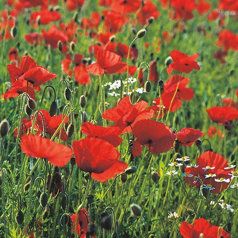 Mr Fothergill's - WF Poppy Seeds Flower Seeds | Snape & Sons