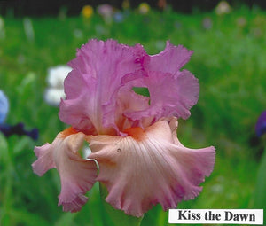 Kiss the Dawn