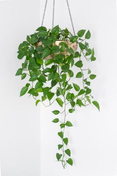 6 in. Golden Pothos