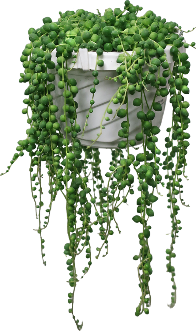 6 in. String Of Pearls