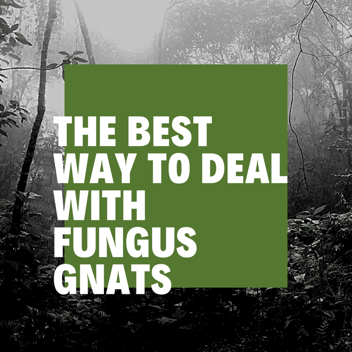 The Best Way to Deal With Horrible Fungus Gnats!