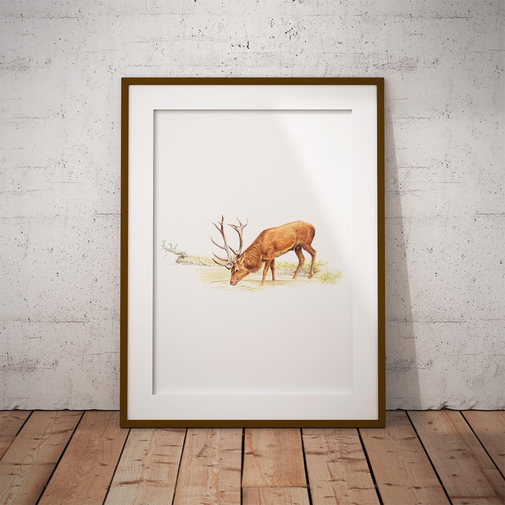 Drinking Red Stag Wall Art Print - Countryman John