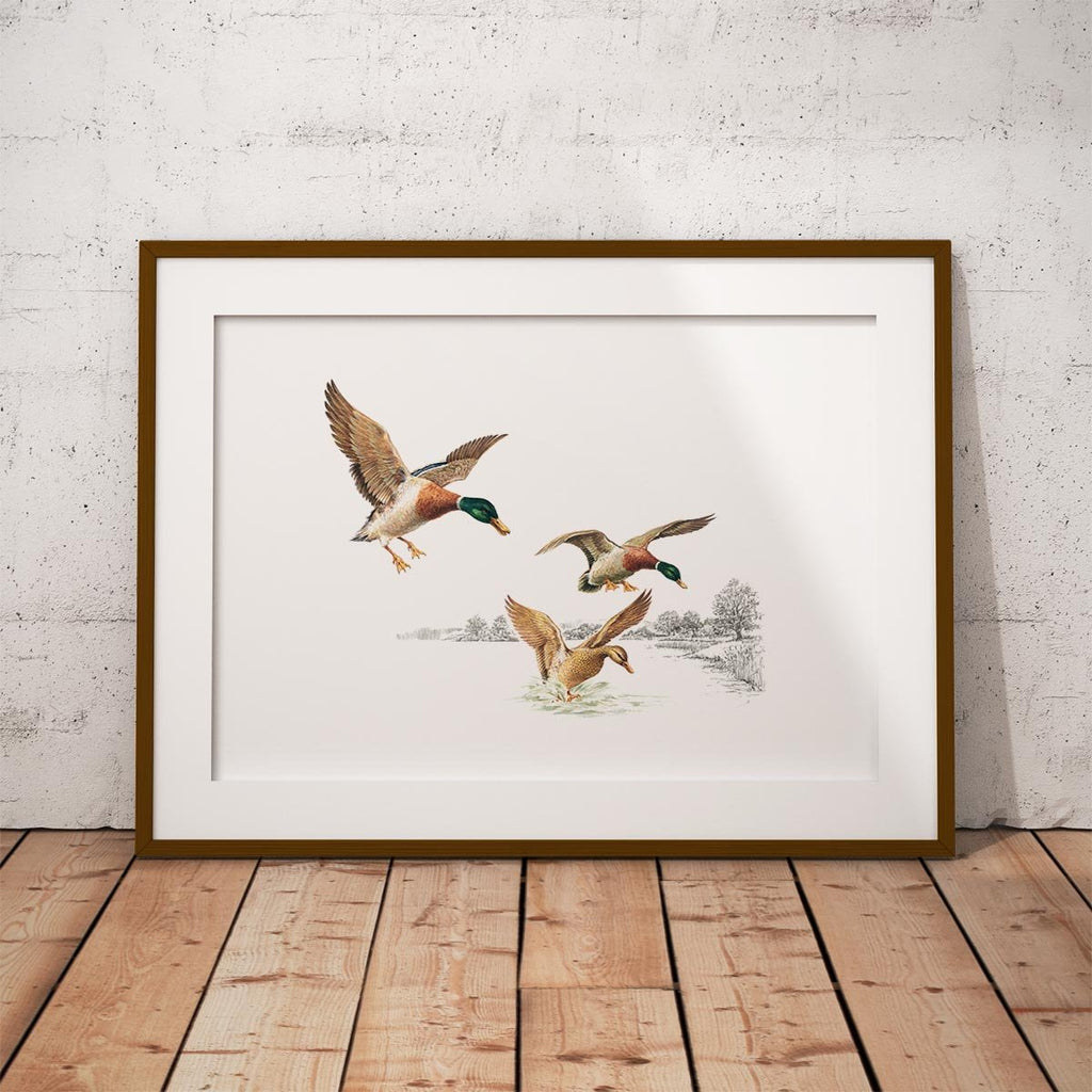 Mallards Coming in to Land on Pond Wall Art Print - Countryman John