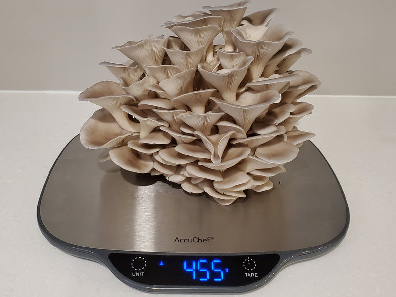 **SOLD** New Mushroom Harvest - Blue Oysters!