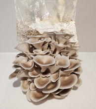 Load image into Gallery viewer, Blue Oyster Mushroom Fruiting Block